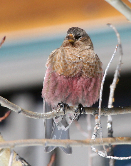 Brown capped rosy finch