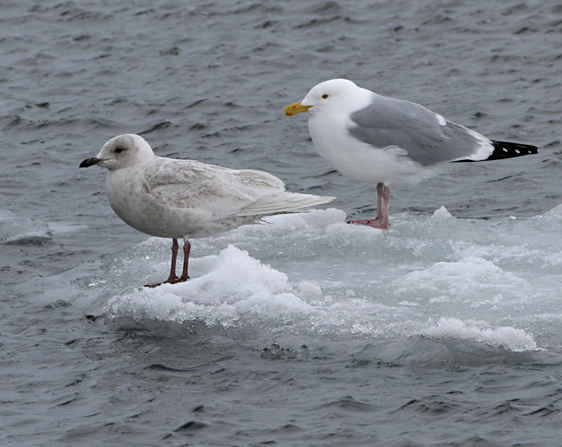 Sorry, Adult sea gull are