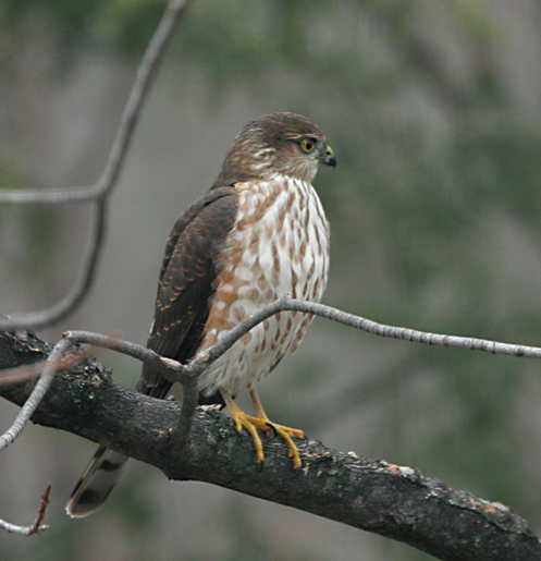 Sharp shinned hawk juvenile